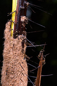 Palm (Korthalsia robusta) defended by host ants (Myrmoplatys sp.), Poring Hot Springs, Borneo.  -  Emanuele Biggi