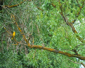 Golden oriole (Oriolus oriolus) perched in Willow (Salix sp) tree. Danube delta, Romania. May.  -  Pal Hermansen