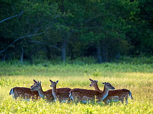 Fallow deer (Dama dama) herd in grassland with Midges overhead. Oland, Gotland, Sweden. June.  -  Pal Hermansen