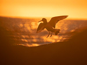 Oystercatcher (Haematopus ostralegus) landing on coast in midnight sun. Lofoten, Norway. July.  -  Pal Hermansen