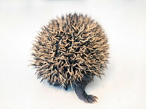 Hedgehog (Erinaceus europaeus) aged two weeks in rehabilitation centre, rear view. Norway. July. Captive. Controlled conditions.  -  Pal Hermansen