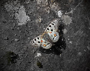 Apollo butterfly (Parnassius apollo) in flight over ground. Telemark, Norway. July.  -  Pal Hermansen