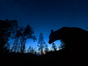 Brown bear (Ursus arctos) silhouetted in forest at night. Finland. August.  -  Pal Hermansen