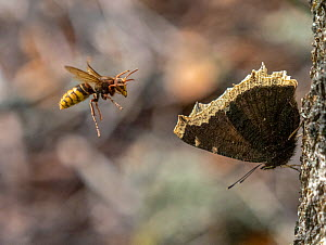 European hornet (Vespa crabro) launching attack on resting Camberwell beauty butterfly (Nymphalis antiopa). Akershus, Norway. August.  -  Pal Hermansen