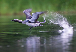 Black-throated diver (Gavia arctica) taking off from water. South Sweden. July.  -  Pal Hermansen