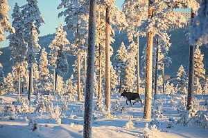 Moose (Alces alces) walking through snow covered forest in morning light. Osterdalen Valley, Innlandet, Norway. January 2017.  -  Pal Hermansen