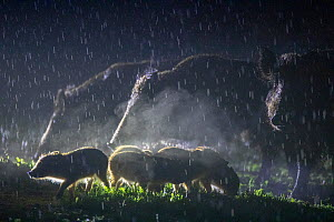Wild boar (Sus scrofa), three with piglets in rain, at night. South Sweden. May.  -  Pal Hermansen