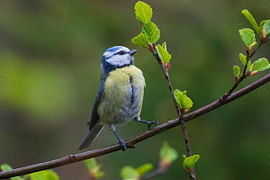 Blue tit (Cyanistes caeruoeus) feeding on insects on young leaves of Beech (Fagus sylvatica) tree. Akershus, Viken, Norway. May.  -  Pal Hermansen