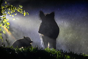 Wild boar (Sus scrofa) sow with piglet, silhouetted in rain at night. South Sweden. May.  -  Pal Hermansen