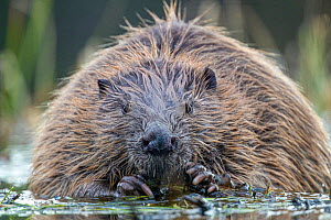 Beaver (Castor fiber) portrait. Trondelag, Norway. May.  -  Pal Hermansen