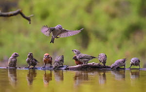 Parrot crossbill (Loxia pytyopsittacus) flock drinking at water's edge. Alicante, Valencian Community, Spain. August.  -  Pal Hermansen