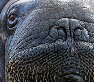 Walrus (Odobenus rosmarus) head, close-up. Svalbard, Norway. September.  -  Pal Hermansen