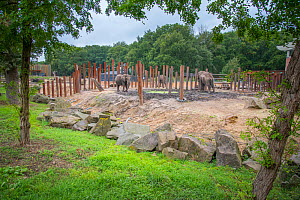 African elephants (Loxodonta africana) in their enriched outdoor enclosure, Ouwehands Zoo, Rhenen, The Netherlands. Captive.  -  Edwin Giesbers