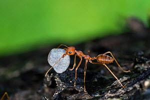 A weaver ant (Oecophylla smaragdina) carrying a small stone to their nest. Scientists are not sure why they do this. Buxa tiger reserve, India. Winning Portfolio of the Wildlife Photographer of the Ye...  -  Ripan Biswas