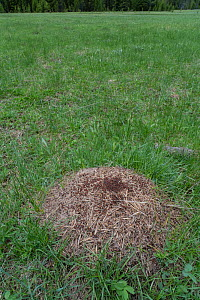 Red ant (Formica sp) anthill in grassland. Yellowstone National Park, Wyoming, USA. June.  -  Jeff Foott