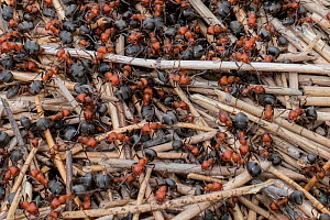Red ant (Formica sp) colony on anthill. Yellowstone National Park, Wyoming, USA. June.  -  Jeff Foott