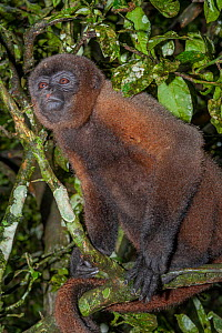 Mantled howler monkey (Alouatta palliata) in tree, portrait. Ecuador.  -  Jeff Foott