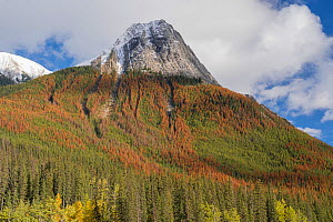 Pine (Pinus sp) forest with dead trees killed by Mountain pine beetle (Dendroctonus ponderosae), below snow capped mountain. Warmer weather due to climate change means the beetle is more likely to sur...  -  Jeff Foott