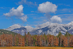 Pine (Pinus sp) forest with dead trees killed by Mountain pine beetle (Dendroctonus ponderosae), snow capped mountains in background. Warmer weather due to climate change makes survival of the beetle...  -  Jeff Foott