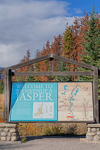 Jasper National Park information board with map; dead Pine (Pinus sp) trees killed by Mountain pine beetle (Dendroctonus ponderosae) in background. Warmer weather due to climate change makes survival...  -  Jeff Foott