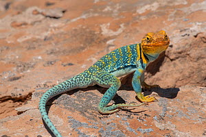 Common collared lizard (Crotaphytus collaris auriceps) male basking on rock. Arches National Park, Utah, USA. May.  -  Jeff Foott