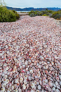 Catarina scallop (Argopecten ventricosus), many empty shells heaped in waste heap after processing. Fished from Bahia Concepcion, Sea of Cortez, Baja California Sur, Mexico. 2013.  -  Jeff Foott