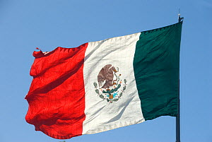 Mexican flag against blue sky. Coat of arms on flag depicting a Golden eagle (Aquila chrysaetos) feeding on Rattlesnake (Crotalus sp) whilst perched on a Prickly pear cactus (Opuntia sp), Oak (Quercus...  -  Jeff Foott