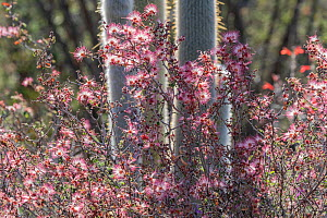 Pink fairy duster (Calliandra eriophylla) growing amongst cacti. Lower Colorado Desert, Northern Baja, Mexico.  -  Jeff Foott