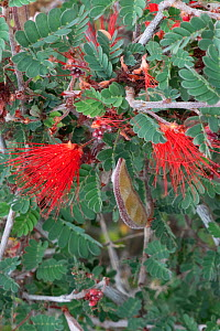 Baja fairy duster (Calliandra californica) flowering, Catavina, Valle de los Cirios Reserve, Baja California, Mexico.  -  Jeff Foott
