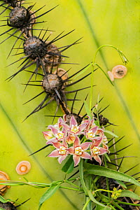 Climbing milkweed (Funastrum cynanchoides) amongst spines of Mexican giant cardon (Pachycereus pringlei). Catavina, Central Baja California, Mexico.  -  Jeff Foott