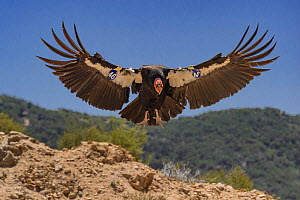 California condor (Gymnogyps californianus) landing, forest in background. Bird with tags on wings. Near San Pedro Martir National Park, Northern Baja California, Mexico. 2017.  -  Jeff Foott