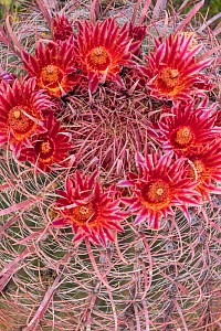 Fire barrel cactus (Ferocactus gracilis) flowering. Mission San Borja road, Baja California, Mexico. March.  -  Jeff Foott