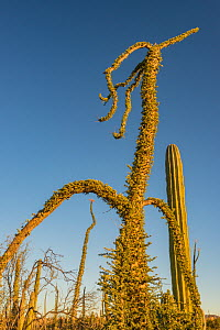 Boojum tree (Fouquieria columnaris) in Sonoran Desert. Catavina, Valle de los Cirios Reserve, Baja California, Mexico. 2013.  -  Jeff Foott