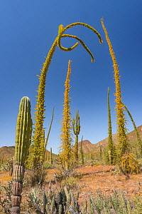 Boojum tree (Fouquieria columnaris) plants in Sonoran Desert, leaves turning yellow in drought, hills in background. Near Bahia de Los Angeles, Baja California, Mexico. 2017.  -  Jeff Foott