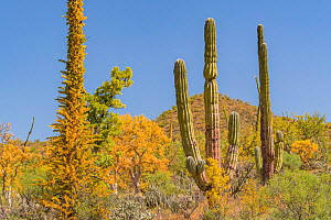Boojum tree (Fouquieria columnaris) with leaves turning yellow in drought, alongside Mexican giant cardon (Pachycereus pringlei), in Sonoran Desert. Near Bahia de Los Angeles, Baja California, Mexico....  -  Jeff Foott