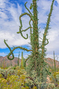 Boojum tree (Fouquieria columnaris) in Sonoran Desert. Near Bahia de Los Angeles, Baja California, Mexico.  -  Jeff Foott