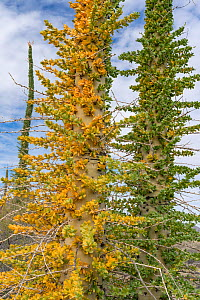 Boojum tree (Fouquieria columnaris) with leaves turning yellow in drought. Near Bahia de Los Angeles, Baja California, Mexico.  -  Jeff Foott