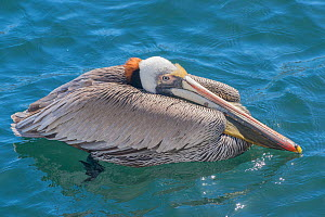 Brown pelican (Pelecanus occidentalis). Espiritu Santo National Park, Mexico.  -  Jeff Foott