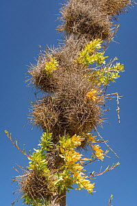Small ballmoss (Tillandsia recurvata) growing on Boojum tree (Fouquieria columnaris) branch. Baja California, Mexico.  -  Jeff Foott