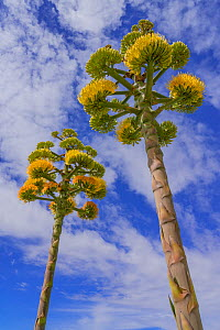 Coastal agave (Agave shawii), two flower spikes against sky, view from below. Near Bahia de los Angeles. Baja California, Mexico.  -  Jeff Foott