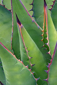 Coastal agave (Agave shawii) leaves. Near Bahia de Los Angeles, Baja California, Mexico.  -  Jeff Foott