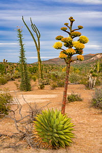 Coastal agave (Agave shawii) flowering in Sonoran Desert. Near Bahia de Los Angeles, Baja California, Mexico.  -  Jeff Foott