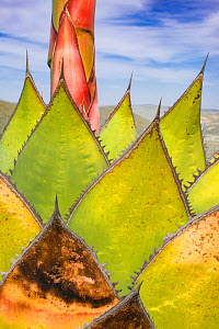 Coastal agave (Agave shawii) leaves dying after plant has flowered. Catavina, Baja California, Mexico.  -  Jeff Foott