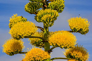 Agave (Agave avellanidens), flowers with bee flying above, Catavina, Central Baja California, Mexico.  -  Jeff Foott