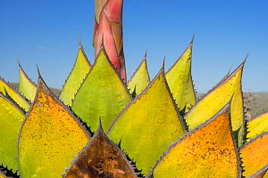 Coastal agave (Agave shawii) leaves dying after flower has bloomed. North Baja California, Mexico.  -  Jeff Foott