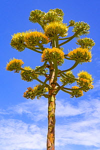 Coastal agave (Agave shawii) flowering against blue sky, near Bahia de Los Angeles, Baja California, Mexico.  -  Jeff Foott