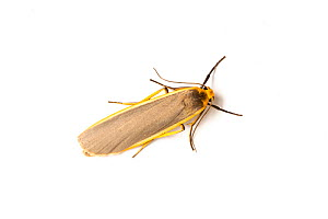 Common Footman, (Eilema lurideola), Whitelye, Monmouthshire, Wales, UK., July.  -  Chris Mattison