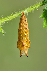 Small Tortoiseshell butterfly, (Aglais urticae), pupa suspended from Stinging Nettle leaf, Cleddon, Monmouthshire, Wales, UK, May.  -  Chris Mattison