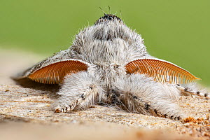 Pale tussock moth (Calliteara pudibunda) male. Catbrook, Monmouthshire, Wales, UK. May.  -  Chris Mattison