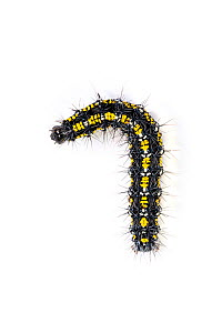 Larva, Scarlet Tiger moth (Callimorpha dominula) Catbrook, Monmouthshire, Wales, UK., May  -  Chris Mattison